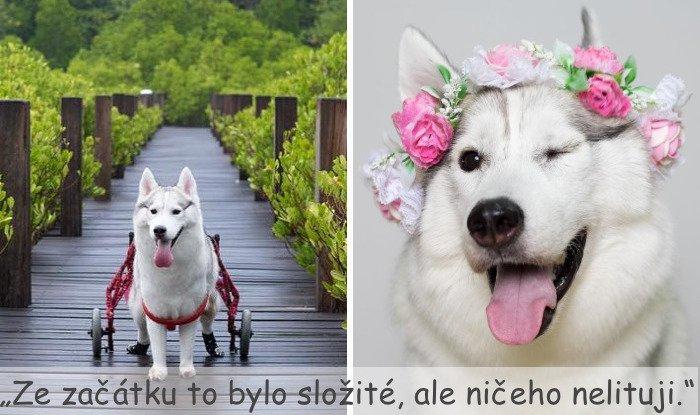 husky sibiřský husky hasky psí plemeno příběhy výchova obrázky fotoalbum pes bez tlapek bez končetin pomoc psům adopce