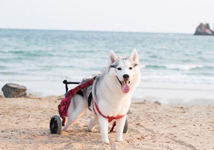 husky sibiřský husky hasky psí plemeno příběhy výchova obrázky fotoalbum pes bez tlapek bez končetin pomoc psům adopce 2