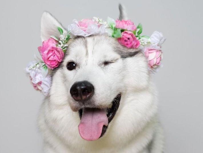 husky sibiřský husky hasky psí plemeno příběhy výchova obrázky fotoalbum pes bez tlapek bez končetin pomoc psům adopce 3