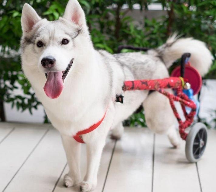 husky sibiřský husky hasky psí plemeno příběhy výchova obrázky fotoalbum pes bez tlapek bez končetin pomoc psům adopce 4