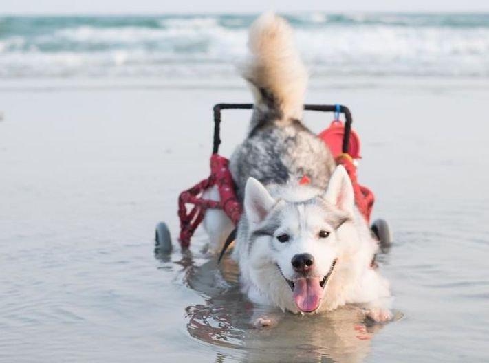 husky sibiřský husky hasky psí plemeno příběhy výchova obrázky fotoalbum pes bez tlapek bez končetin pomoc psům adopce 5