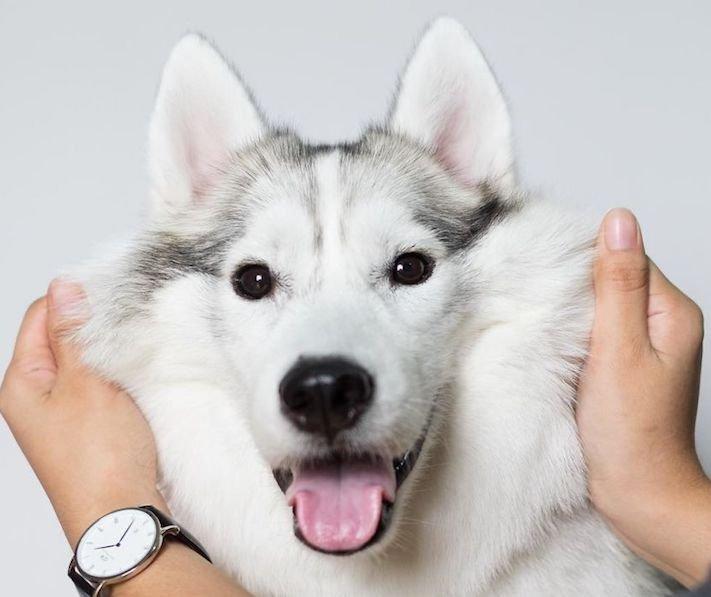 husky sibiřský husky hasky psí plemeno příběhy výchova obrázky fotoalbum pes bez tlapek bez končetin pomoc psům adopce 6
