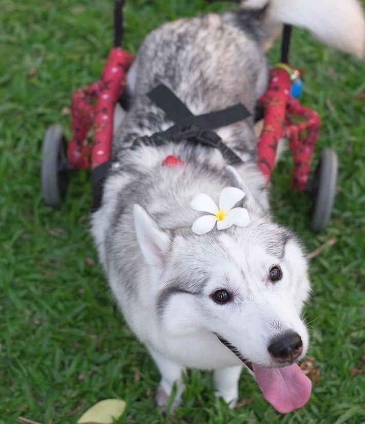 husky sibiřský husky hasky psí plemeno příběhy výchova obrázky fotoalbum pes bez tlapek bez končetin pomoc psům adopce 6a