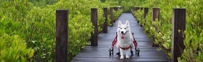 husky sibiřský husky hasky psí plemeno příběhy výchova obrázky fotoalbum pes bez tlapek bez končetin pomoc psům adopce 7