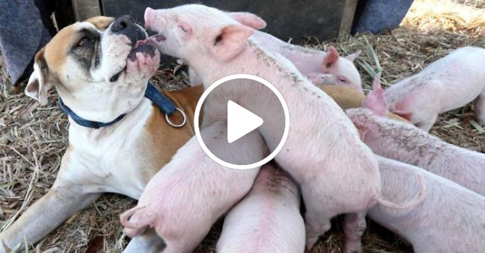 fenka boxera adoptuje prasata prasátka čuníky prasat falešná březost pes macecha