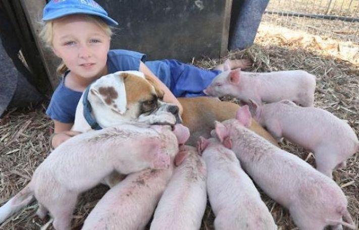 fenka boxera adoptuje prasata prasátka čuníky prasat falešná březost pes macecha 4