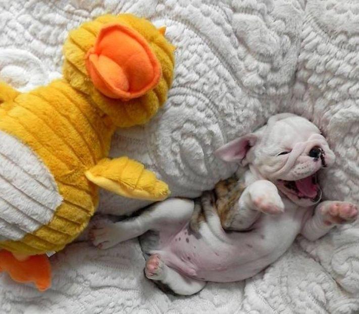 nejlepší nejroztomilejší obrázky buldočků boldoků bulldog buldog bulldok francouzský buldoček plemeno psa 8