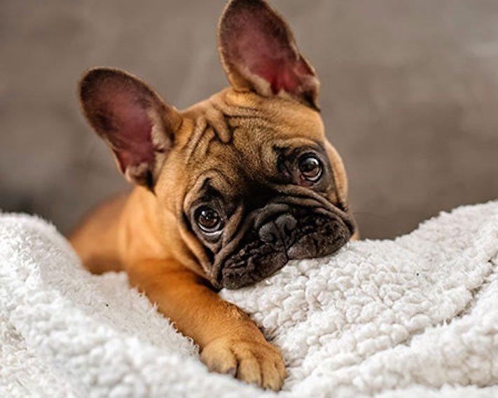 nejlepší nejroztomilejší obrázky buldočků boldoků bulldog buldog bulldok francouzský buldoček plemeno psa 11