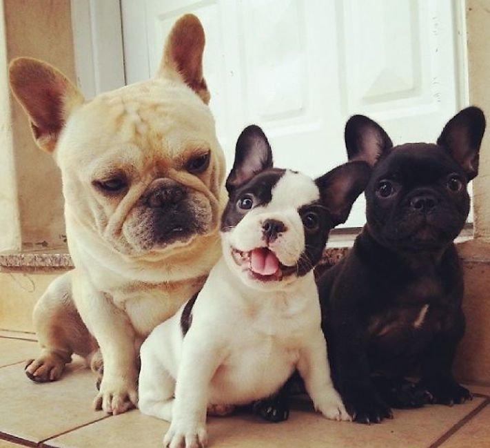 nejlepší nejroztomilejší obrázky buldočků boldoků bulldog buldog bulldok francouzský buldoček plemeno psa 15