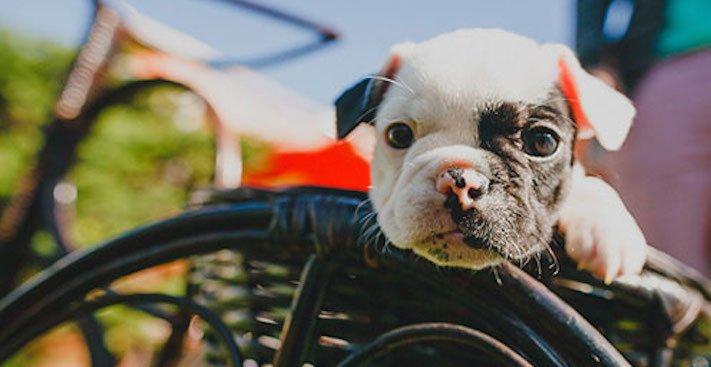 nejlepší nejroztomilejší obrázky buldočků boldoků bulldog buldog bulldok francouzský buldoček plemeno psa 18