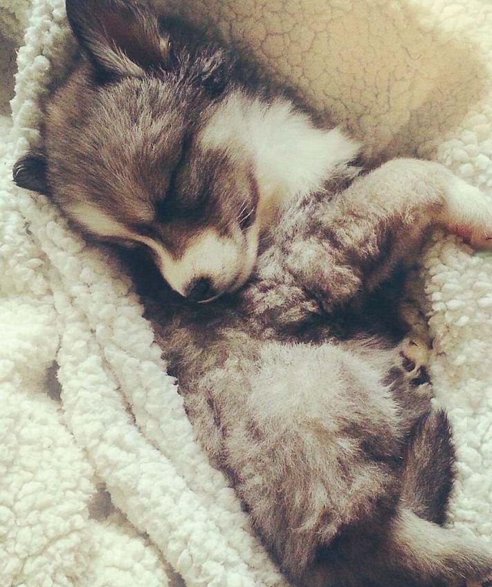 husky, sibiřský husky, psí plemeno, psí, plemeno, psa, obrázky, štěněte, štěně, huskyho, huski, hasky, haski, plemeno, psa obrázky, fotoalbum, video, modré, oči, u psa 2