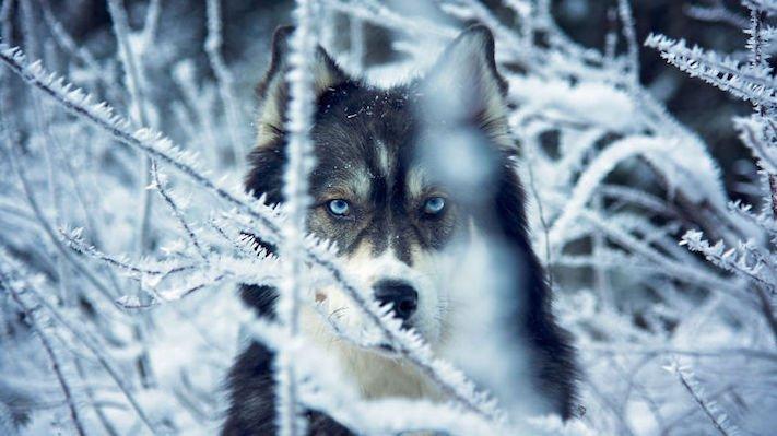 husky, sibiřský husky, psí plemeno, psí, plemeno, psa, obrázky, štěněte, štěně, huskyho, huski, hasky, haski, plemeno, psa obrázky, fotoalbum, video, modré, oči, u psa 3