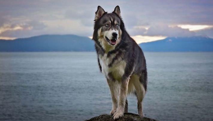 husky, sibiřský husky, psí plemeno, psí, plemeno, psa, obrázky, štěněte, štěně, huskyho, huski, hasky, haski, plemeno, psa obrázky, fotoalbum, video, modré, oči, u psa 6