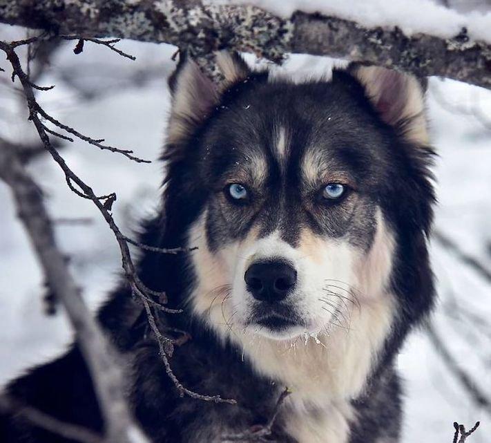husky, sibiřský husky, psí plemeno, psí, plemeno, psa, obrázky, štěněte, štěně, huskyho, huski, hasky, haski, plemeno, psa obrázky, fotoalbum, video, modré, oči, u psa 8