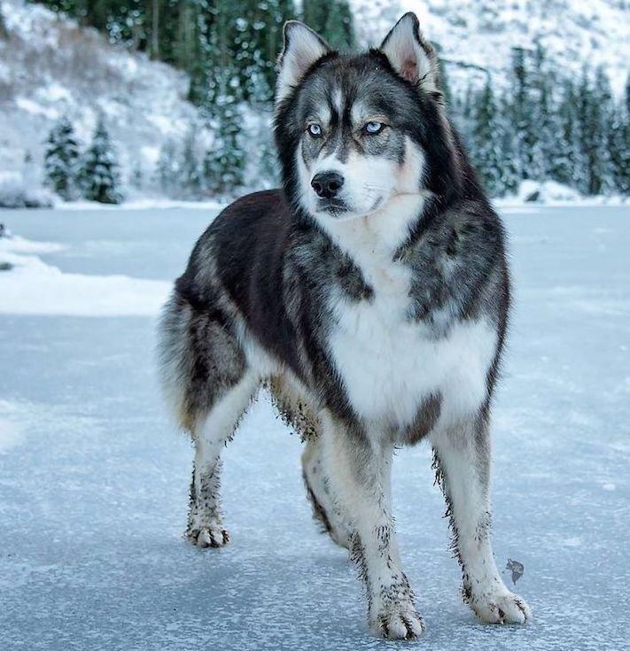 husky, sibiřský husky, psí plemeno, psí, plemeno, psa, obrázky, štěněte, štěně, huskyho, huski, hasky, haski, plemeno, psa obrázky, fotoalbum, video, modré, oči, u psa 10