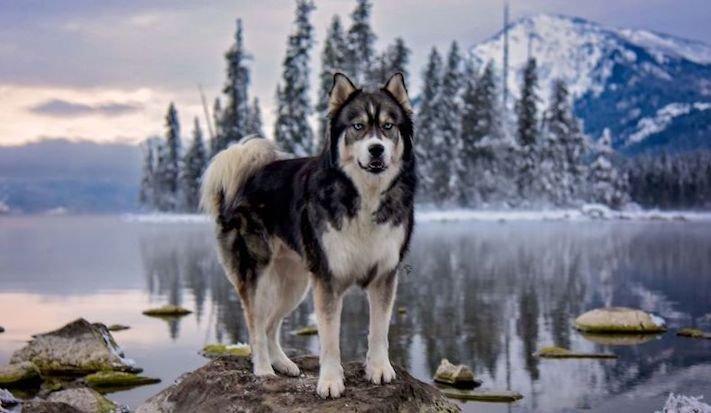 husky, sibiřský husky, psí plemeno, psí, plemeno, psa, obrázky, štěněte, štěně, huskyho, huski, hasky, haski, plemeno, psa obrázky, fotoalbum, video, modré, oči, u psa 13
