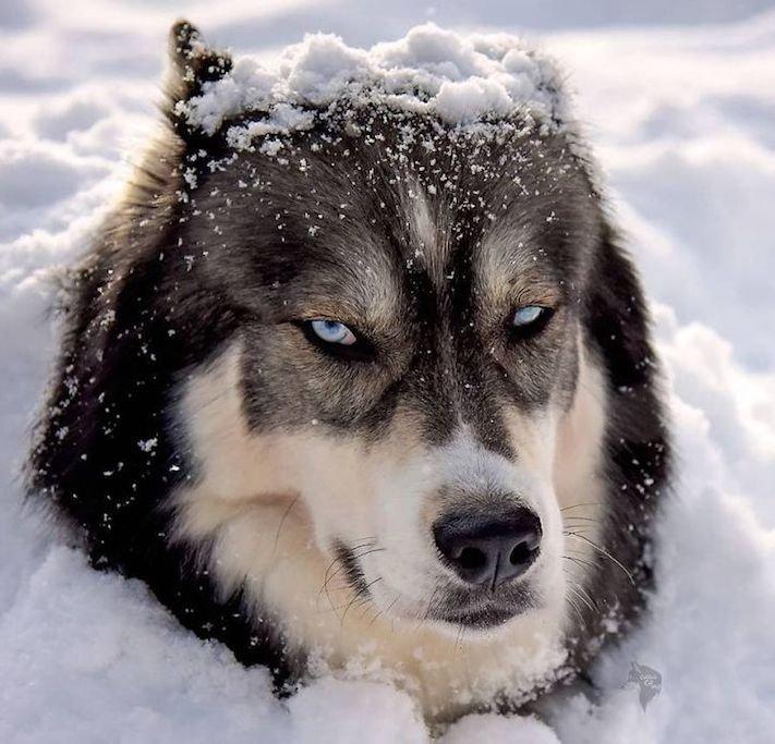 husky, sibiřský husky, psí plemeno, psí, plemeno, psa, obrázky, štěněte, štěně, huskyho, huski, hasky, haski, plemeno, psa obrázky, fotoalbum, video, modré, oči, u psa 14