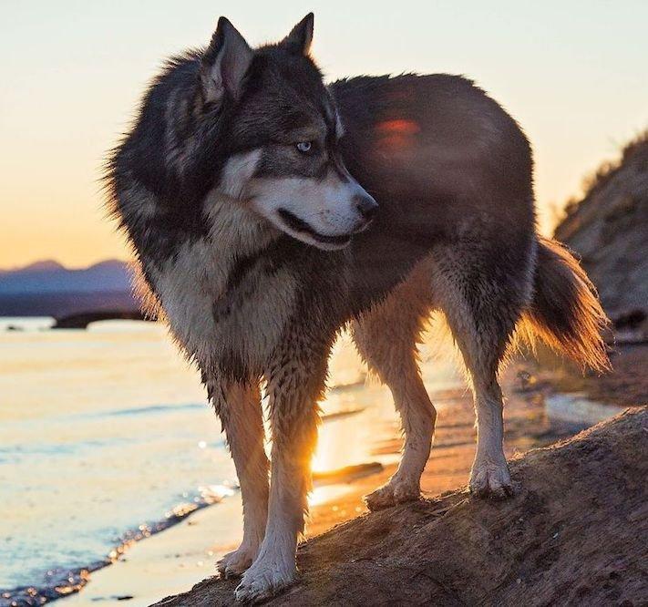 husky, sibiřský husky, psí plemeno, psí, plemeno, psa, obrázky, štěněte, štěně, huskyho, huski, hasky, haski, plemeno, psa obrázky, fotoalbum, video, modré, oči, u psa 16