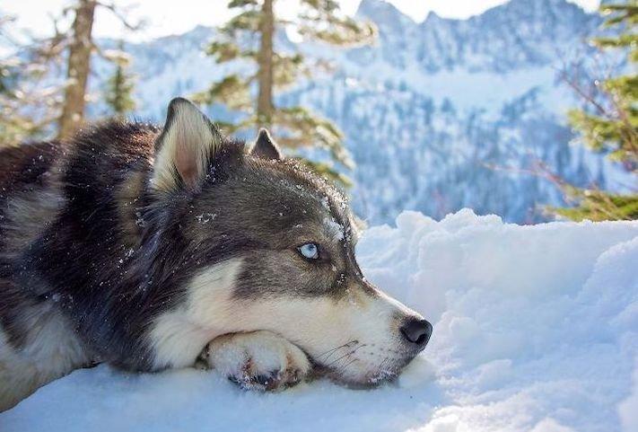 husky, sibiřský husky, psí plemeno, psí, plemeno, psa, obrázky, štěněte, štěně, huskyho, huski, hasky, haski, plemeno, psa obrázky, fotoalbum, video, modré, oči, u psa 18
