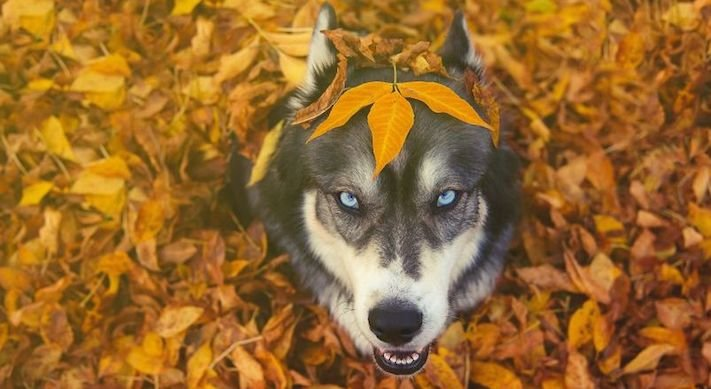 husky, sibiřský husky, psí plemeno, psí, plemeno, psa, obrázky, štěněte, štěně, huskyho, huski, hasky, haski, plemeno, psa obrázky, fotoalbum, video, modré, oči, u psa 21