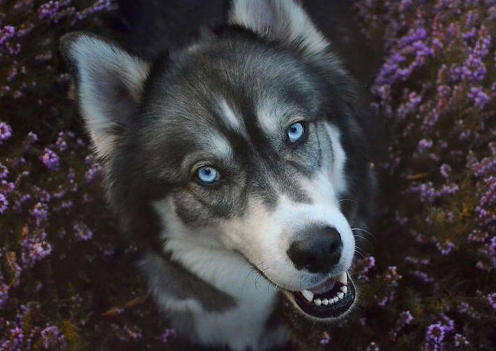 husky, sibiřský husky, psí plemeno, psí, plemeno, psa, obrázky, štěněte, štěně, huskyho, huski, hasky, haski, plemeno, psa obrázky, fotoalbum, video, modré, oči, u psa 24