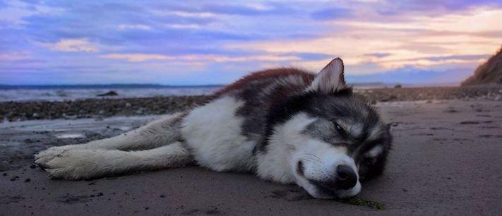 husky, sibiřský husky, psí plemeno, psí, plemeno, psa, obrázky, štěněte, štěně, huskyho, huski, hasky, haski, plemeno, psa obrázky, fotoalbum, video, modré, oči, u psa 25