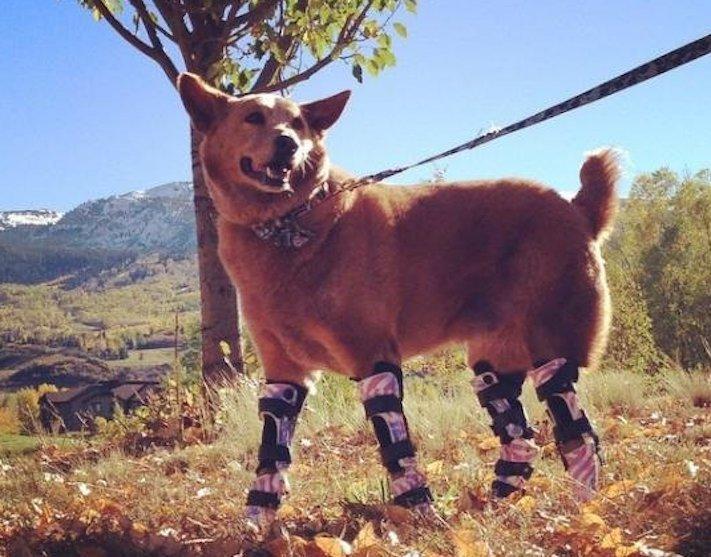 protéza, protézy, u psa, psovi, pes, bez nohou, bez končetin, končetiny, tlapky, postižený pes 1
