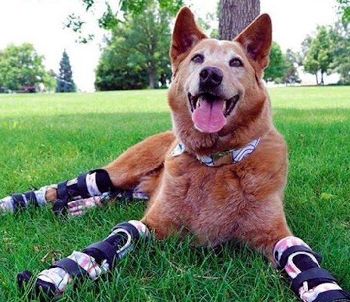 protéza, protézy, u psa, psovi, pes, bez nohou, bez končetin, končetiny, tlapky, postižený pes 2