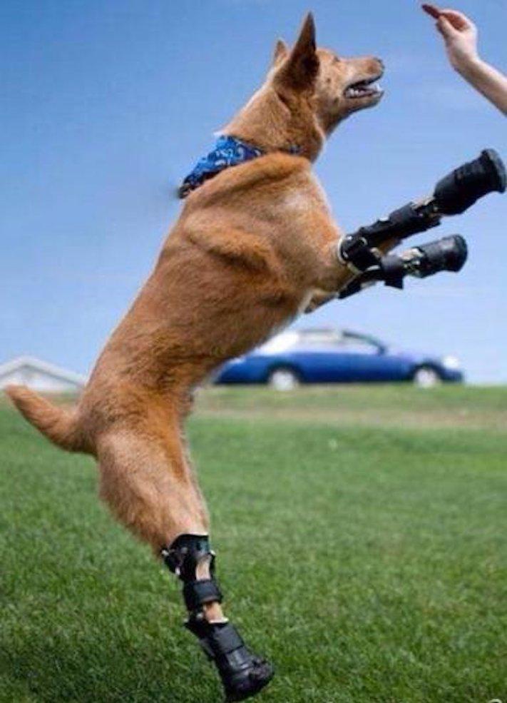 protéza, protézy, u psa, psovi, pes, bez nohou, bez končetin, končetiny, tlapky, postižený pes 4