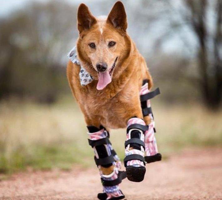 protéza, protézy, u psa, psovi, pes, bez nohou, bez končetin, končetiny, tlapky, postižený pes 5