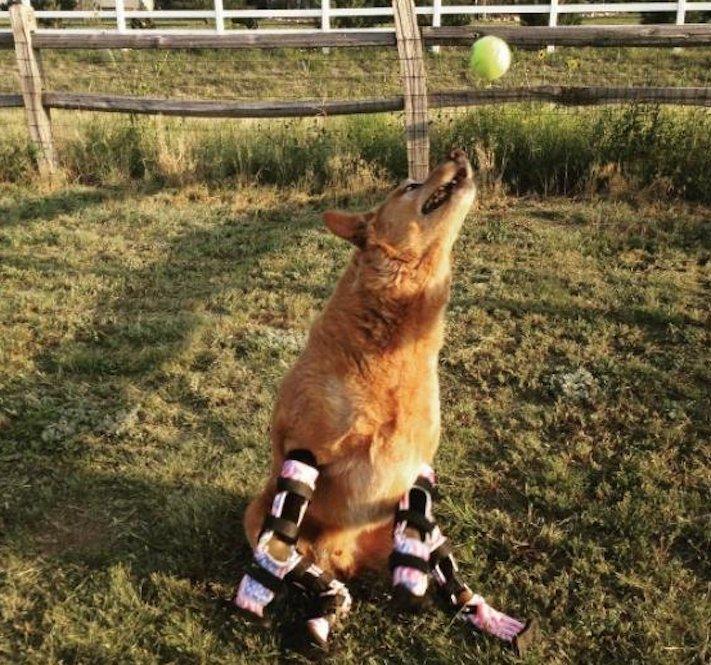 protéza, protézy, u psa, psovi, pes, bez nohou, bez končetin, končetiny, tlapky, postižený pes 6