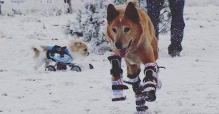 protéza, protézy, u psa, psovi, pes, bez nohou, bez končetin, končetiny, tlapky, postižený pes 8