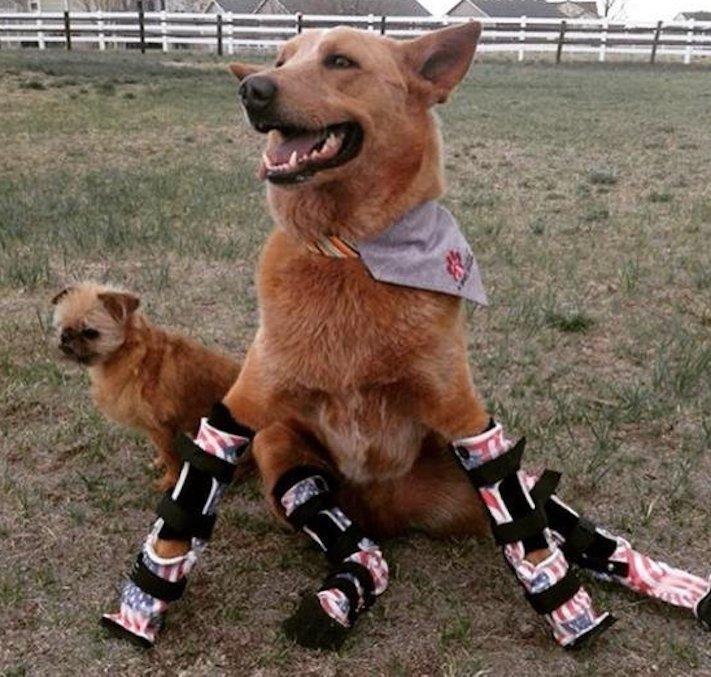 protéza, protézy, u psa, psovi, pes, bez nohou, bez končetin, končetiny, tlapky, postižený pes 9