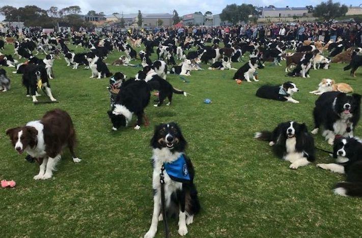 psí plemeno, psa, border kolie, bordr kólie, border, kólie, překonání, světového, rekordu, guinessova, kniha, rekordů, psí, rekordy, psů 1