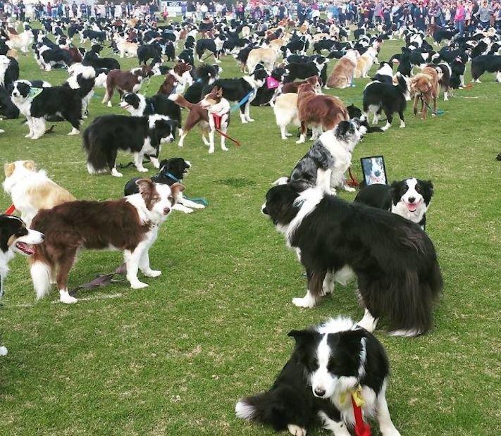 psí plemeno, psa, border kolie, bordr kólie, border, kólie, překonání, světového, rekordu, guinessova, kniha, rekordů, psí, rekordy, psů 7