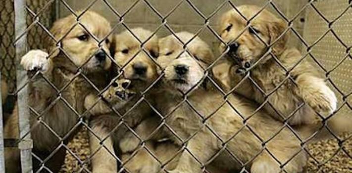 prodej, psů, ve zveremixech, obchodech, v čr, v česku, v české republice, zákaza prodeje psů a koček ve zverimexech 3