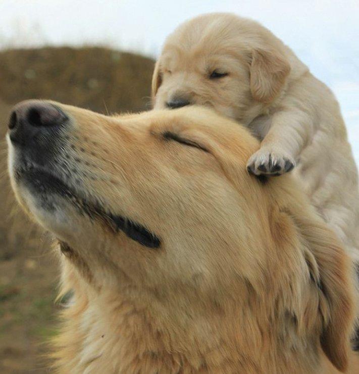 psi, fenky, fena, pes, se svými štěňaty, štěně, štěňata, obrázky štěňat, roztomilé obrázky psů 1
