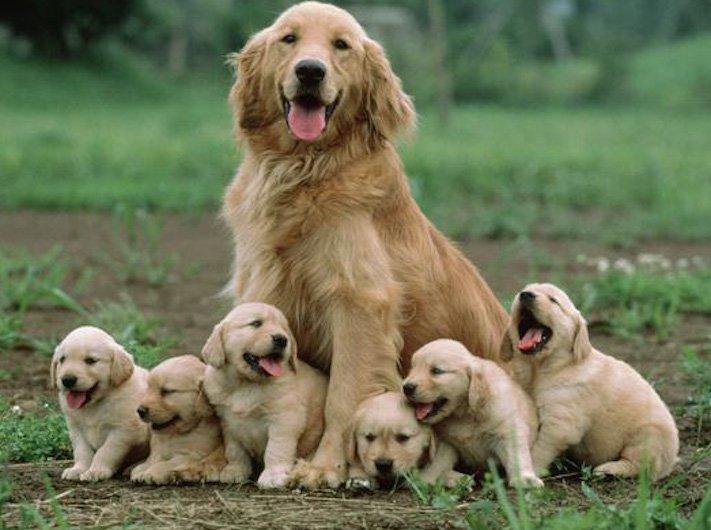 psi, fenky, fena, pes, se svými štěňaty, štěně, štěňata, obrázky štěňat, roztomilé obrázky psů 3