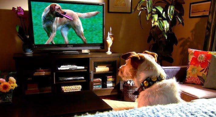 pes versus tv televize psi sledují televizi proč se pes kouká na televizi 3