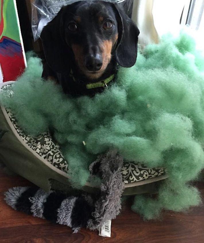 zlobivý pes, psi, rošťák, zábavné, vtipné, obrázky, se psy, fotoalbum, fotosérie, psí, zážitky, humor 6