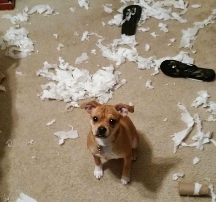 zlobivý pes, psi, rošťák, zábavné, vtipné, obrázky, se psy, fotoalbum, fotosérie, psí, zážitky, humor 7