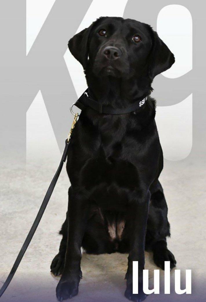 psi, výcvik, tajné služby, pracovní, služební, psi, cia, tajné služby, vyhledávání, výbušnin, výbušniny, bomby, vyhledávání bomb, labradorský retrívr 5