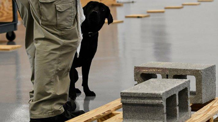 psi, výcvik, tajné služby, pracovní, služební, psi, cia, tajné služby, vyhledávání, výbušnin, výbušniny, bomby, vyhledávání bomb, labradorský retrívr 7
