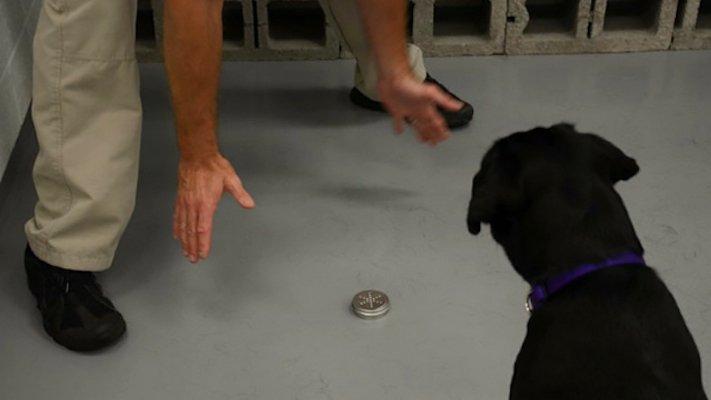 psi, výcvik, tajné služby, pracovní, služební, psi, cia, tajné služby, vyhledávání, výbušnin, výbušniny, bomby, vyhledávání bomb, labradorský retrívr 11