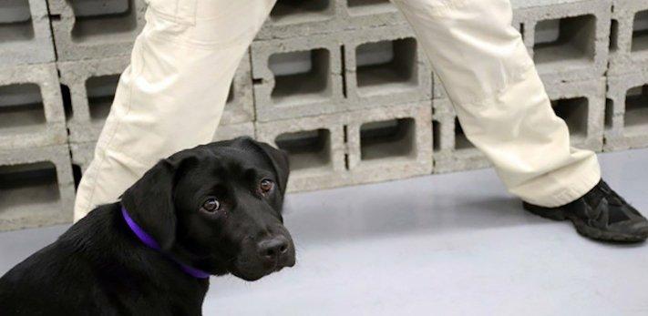 psi, výcvik, tajné služby, pracovní, služební, psi, cia, tajné služby, vyhledávání, výbušnin, výbušniny, bomby, vyhledávání bomb, labradorský retrívr 13