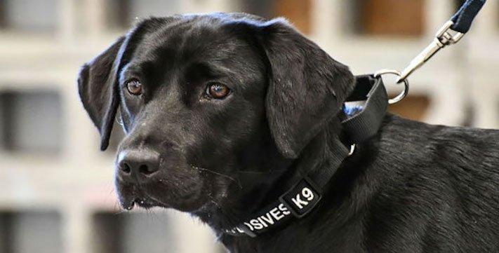psi, výcvik, tajné služby, pracovní, služební, psi, cia, tajné služby, vyhledávání, výbušnin, výbušniny, bomby, vyhledávání bomb, labradorský retrívr 21