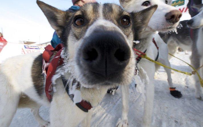 čich psa, čich, psa, čich u psa, čumák, čenich, nos, psí nos, psi, funkce, receptory, olfaktorie 4