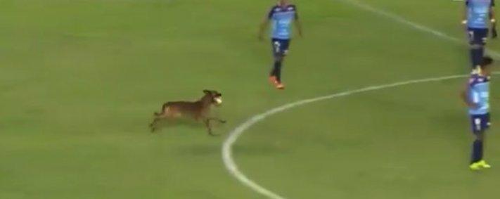 pes, hraj, fotbal, hraní, fotbalový, zápas, turnaj, pes, narušil, fotbalové, utkání, pes na hřišti, hraje fotbal 1
