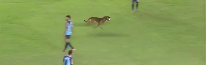 pes, hraj, fotbal, hraní, fotbalový, zápas, turnaj, pes, narušil, fotbalové, utkání, pes na hřišti, hraje fotbal 3