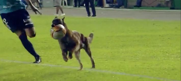 pes, hraj, fotbal, hraní, fotbalový, zápas, turnaj, pes, narušil, fotbalové, utkání, pes na hřišti, hraje fotbal 2